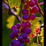 Trauben - wine grapes, by Thomas Tots, Germany (cc license)