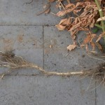 Tomatoes-RootSystem-SouthGardenBed, by Glenn, cc license